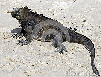 Marine Iguana 4