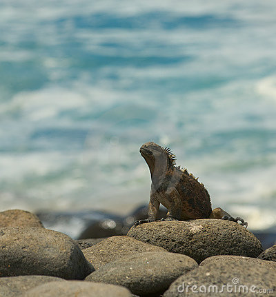 Marine iguana in the beach