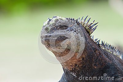 Marine Iguana on the beach natural background