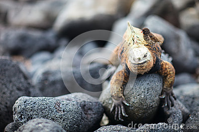 Marine iguana and Galapagos finch