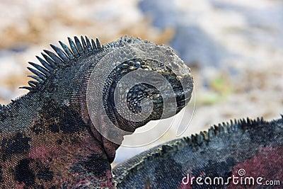 Marine Iguana - Galapagos Islands - Ecuador