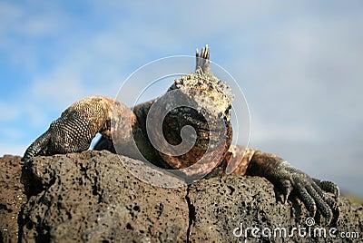 Marine Iguana Gaze