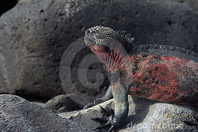 Marine Iguana Sleep