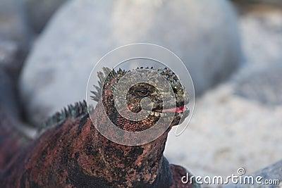 Marine Iguana Smile