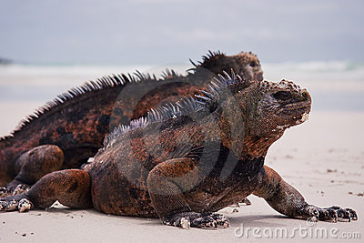 Marine iguanas on beach.