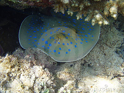 Marine skate with dark blue spots in a coral cave