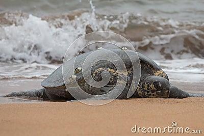 Marine Turtly