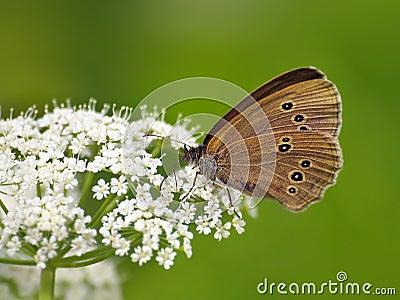 Mariposa (Coenonympha) en la flor blanca