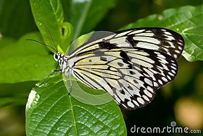 Mariposa de la ninfa del árbol (idea Leuconoe)