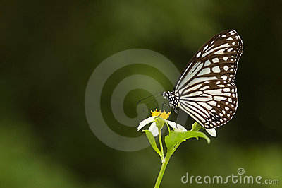Mariposa de Milkweed (series de la mariposa)