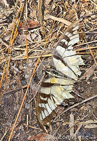 Mariposa de Swallowtail del tigre desgastada y batida
