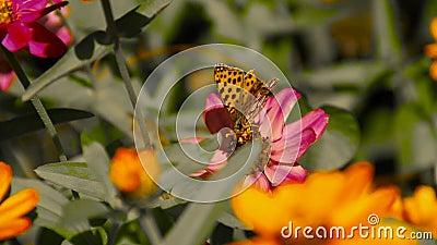 Mariposa en una flor que recoge el polen metrajes