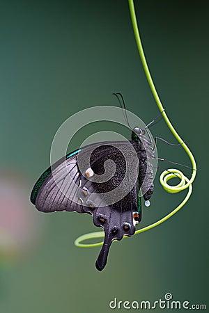Mariposa Mito
