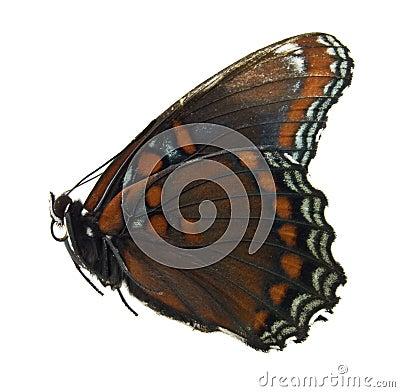 Mariposa púrpura manchada roja