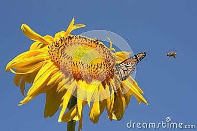 Mariposa y abejas en un girasol