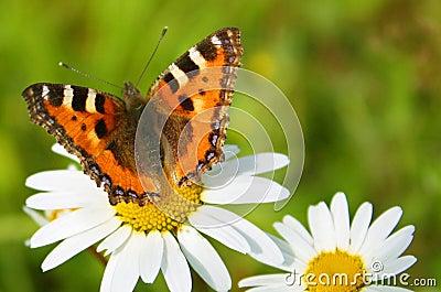 Mariposa y camomiles