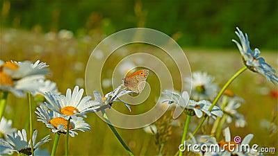 Mariposa y manzanilla en rocío matutino metrajes