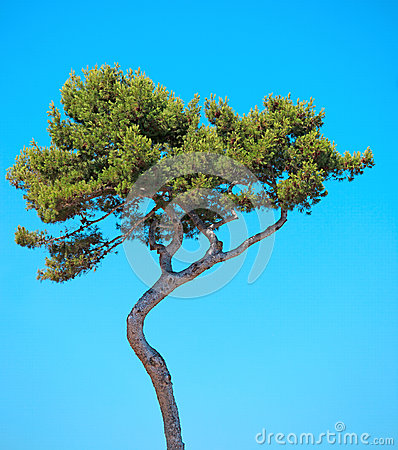 Maritime Pine curved tree on blue sky. Provence