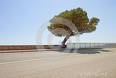 Maritime Pine tree road to Saint Tropez. Provence