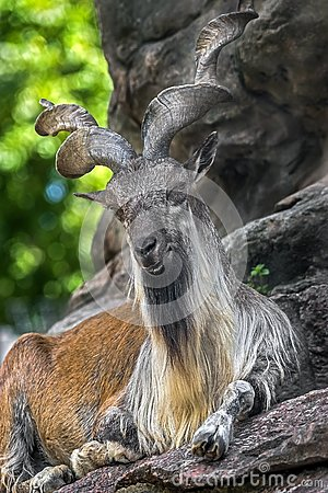 Free Markhor Male 5 Royalty Free Stock Image - 127452616