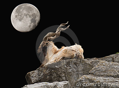 Markhor and moon