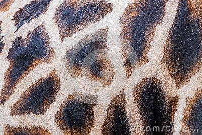 Markings of a giraffe