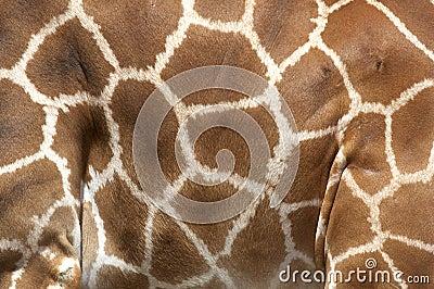 Markings of the rothchilds giraffe