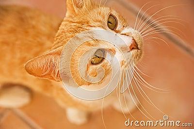 Marmalade Cat .