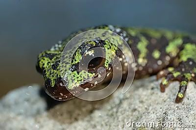 Marmorerad newt