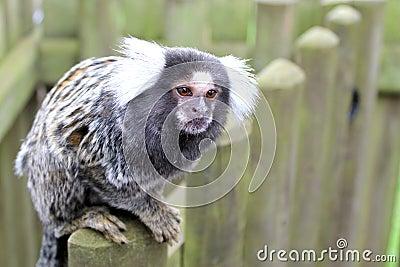 Общий marmoset