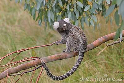 Marmoset on branch