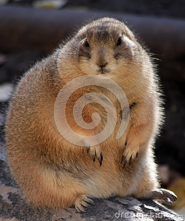 Free Marmot Royalty Free Stock Images - 4227279