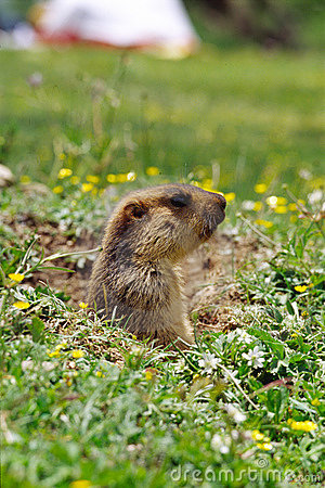 Free Marmot Royalty Free Stock Photography - 4707107