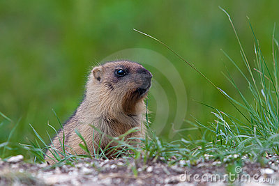 Marmot against a green grass