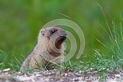 Marmot against a green grass