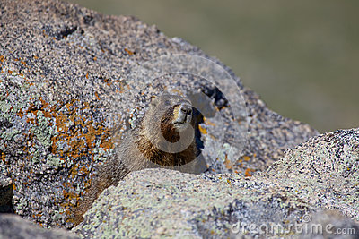 Marmot in Alpine Rocks