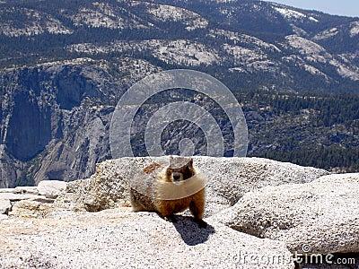 Marmot atop Half Dome, Yosemite