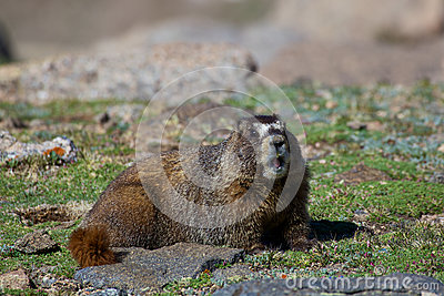 Marmot Calling Out