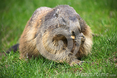 Marmot eat on green grass