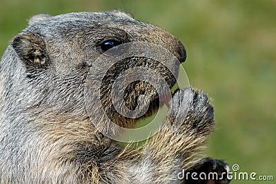 Marmot face