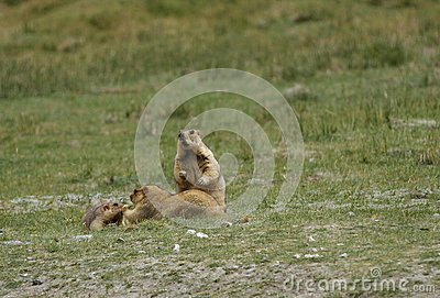 A Marmot family relaxing in the grassland of Ladakh valley