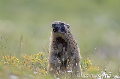 Marmot in the French Alps
