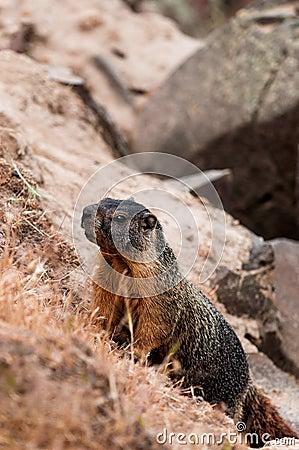 Marmot (giant rock squirrel) climbing