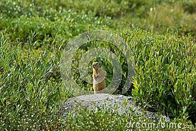 Marmot in a grass