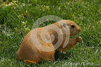 Marmot on grass
