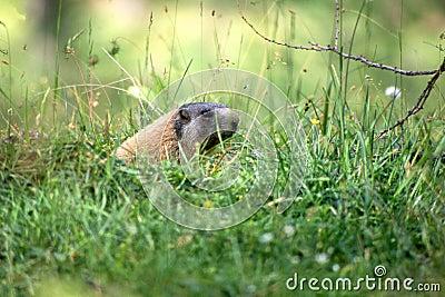 Marmot in het gras