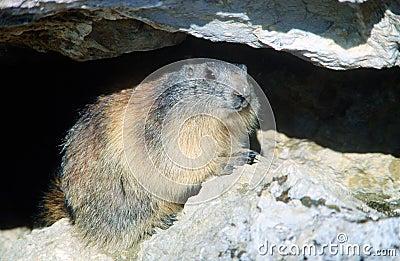 Marmot hiding under a rock