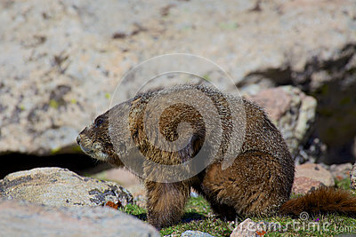 Marmot With and Itch