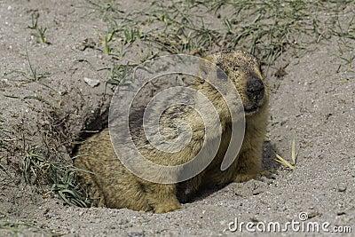 Marmot in ladakh