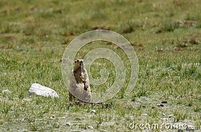 A Marmot in Ladakh